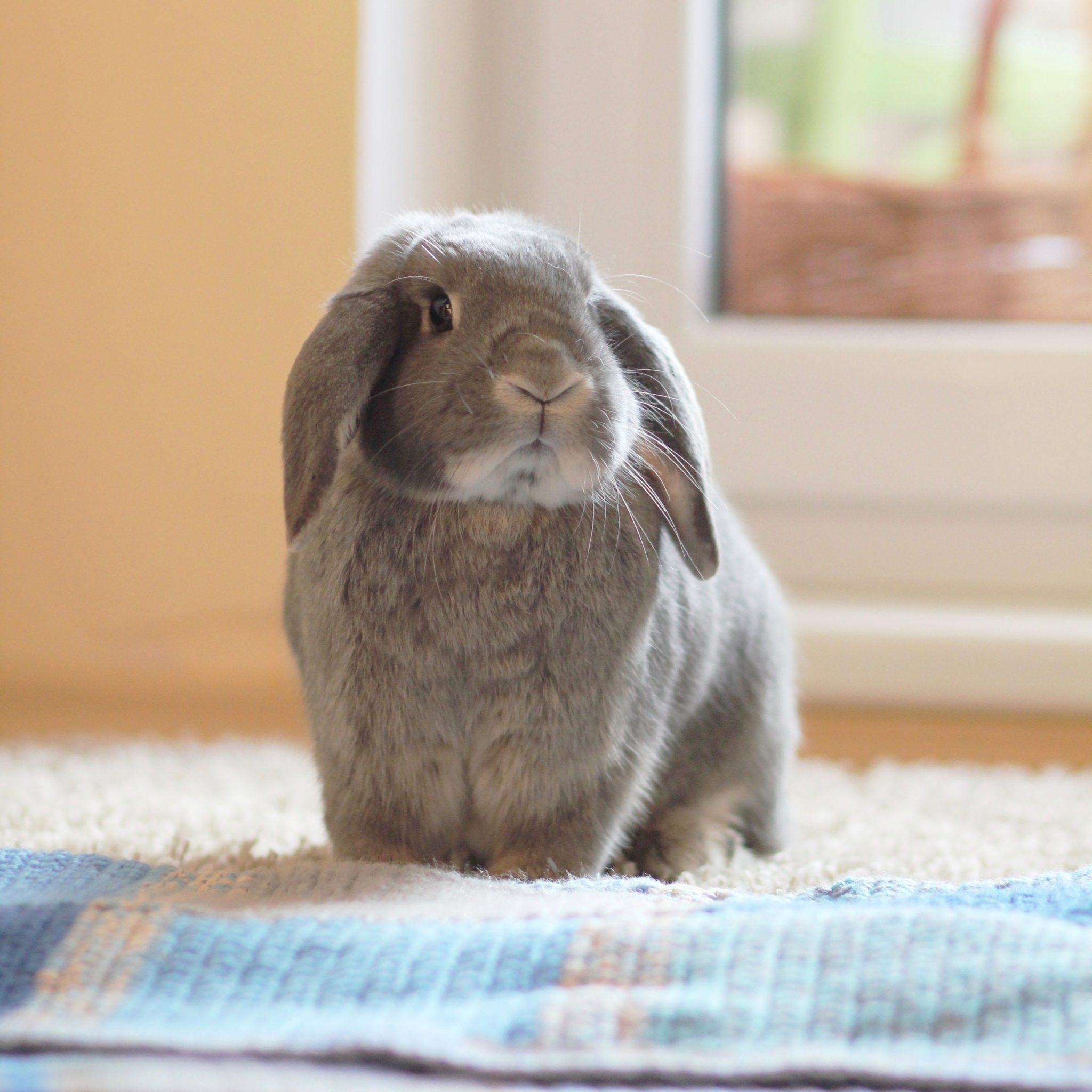 All About Rabbits Rescue