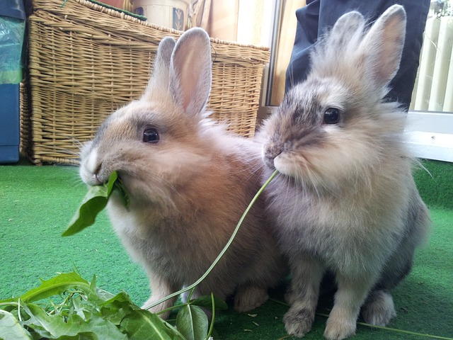 Two rabbits eating greens